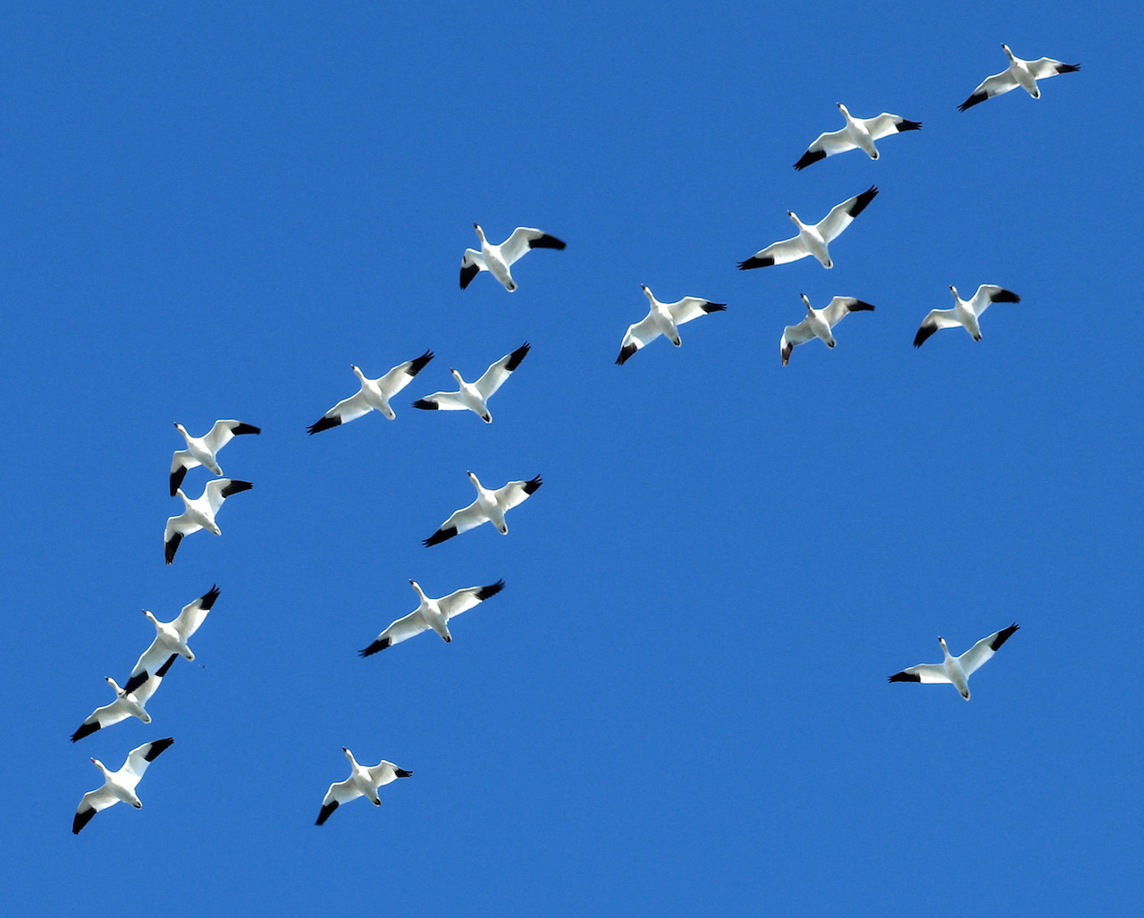 Snow geese flyover (photo)