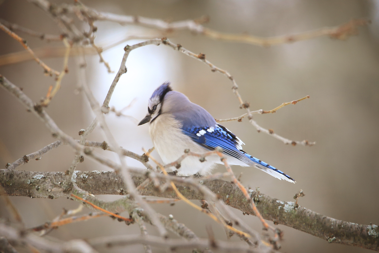 Blue jay annoyed with weather in FLX (photo)